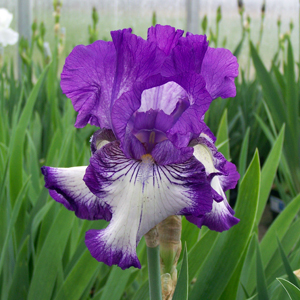 iris bountiful harvest 1x1