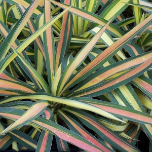 Yucca Color Gaurd Winter Color