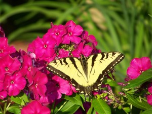Swallowtail Butterfly on Tall Phlox