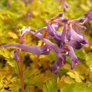 Corydalis berry exciting 1x1