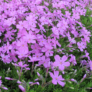creep phlox pink 1x1