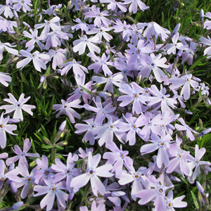 creeping phlox blue emerald 1x1