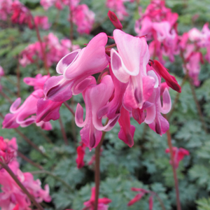dicentra candy hearts 1x1