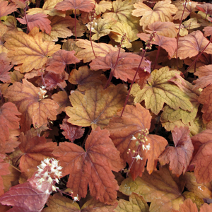 heucherella sweet tea 1x1