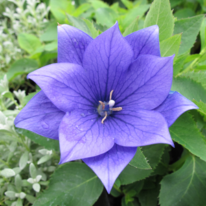 Platycodon 'Astra Double Blue'  1X1