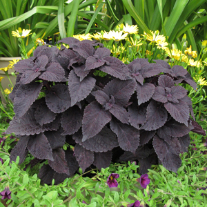 coleus dark star 1x1 june10