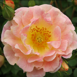 rose peachy cream 1x1