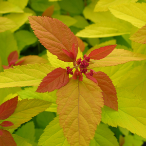spirea dbl play gold 1x1