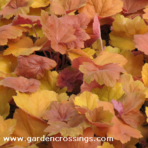 Heuchera Southern Comfort